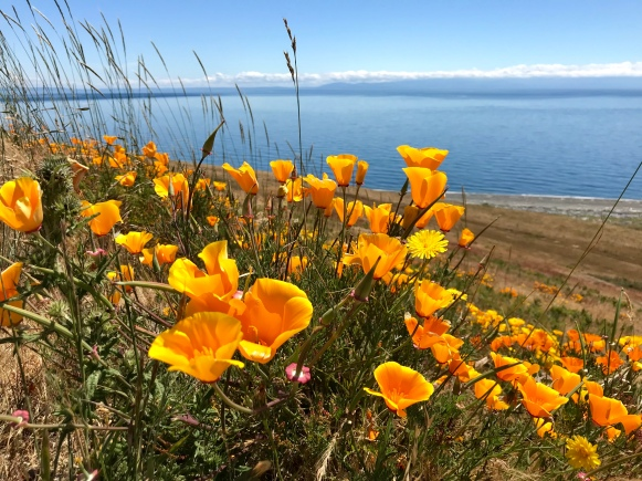 A photo of yellow poppies with the clear blue ocean in the background.