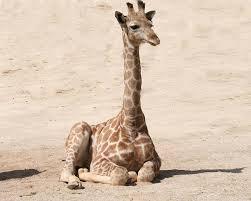 Baby giraffe laying down.
