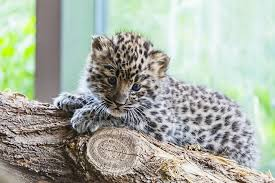 Baby leopard on a log